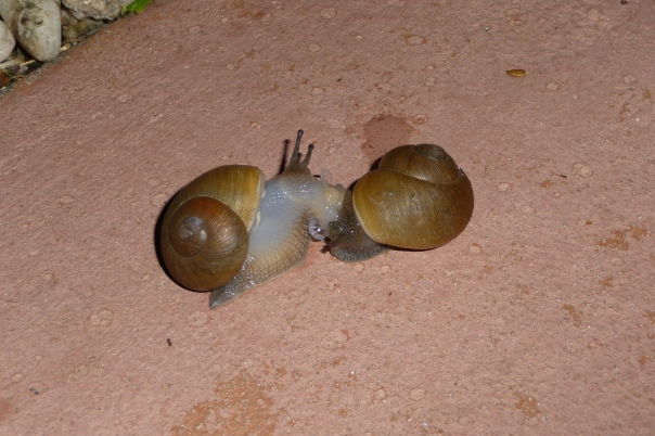 I found these snails stuck together. Mating perhaps?